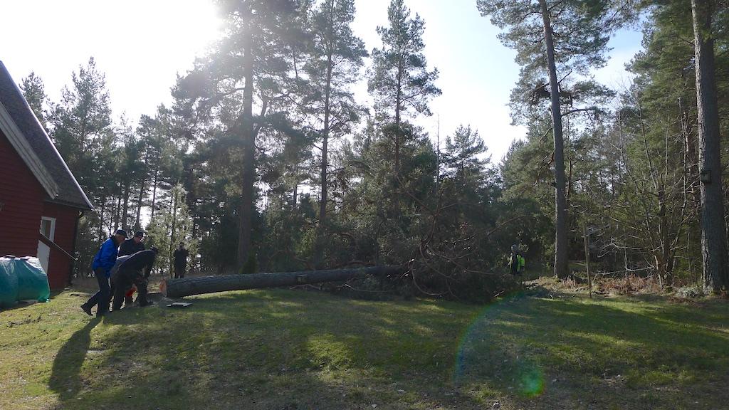 Trädfällning150315 13